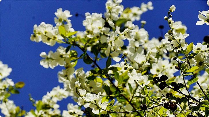 늗은 봄꽃 가침박달나무 꽃