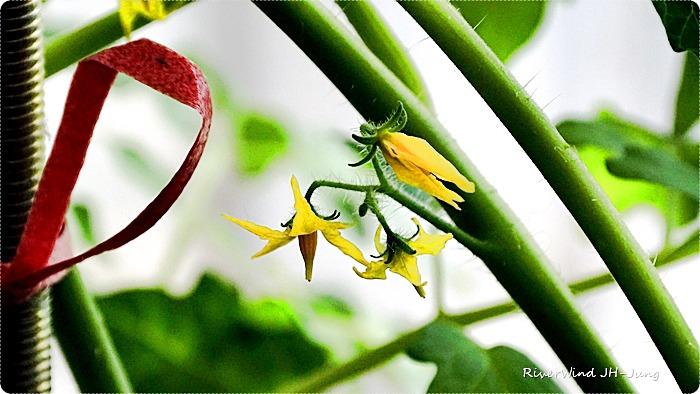 토마토 꽃