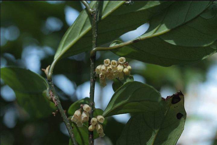 빌레나무 3