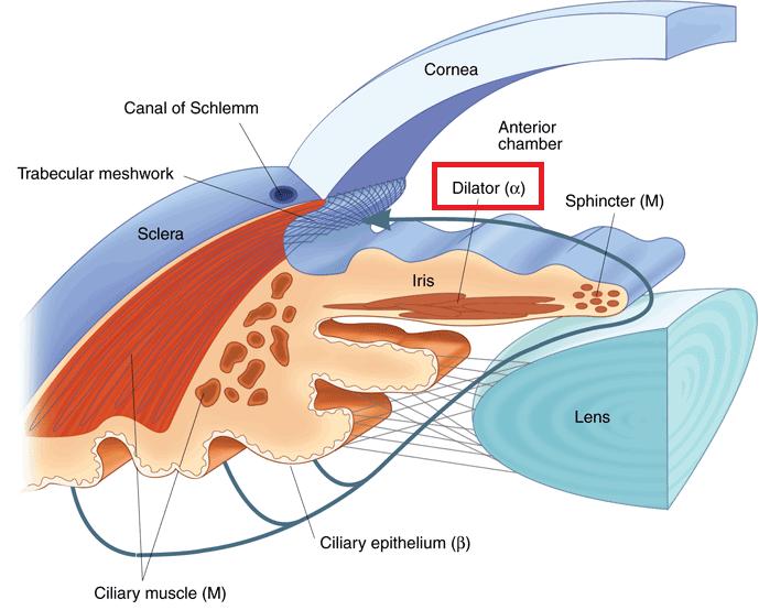 동공 산대근(pupil dilator)와 알파수용체