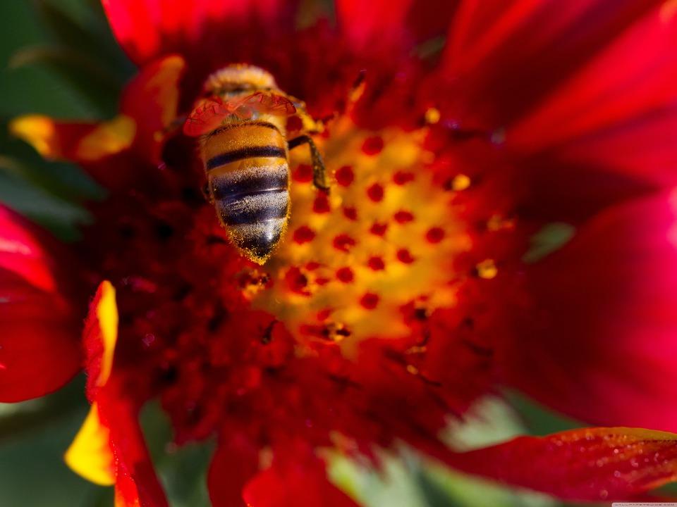 Bee On A Gaillardia Flower HD Wallpaper