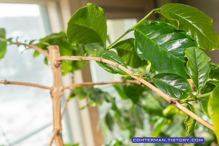 커피나무 가지 새 잎