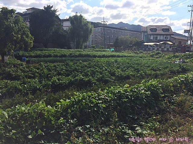 남양주 밭 식물
