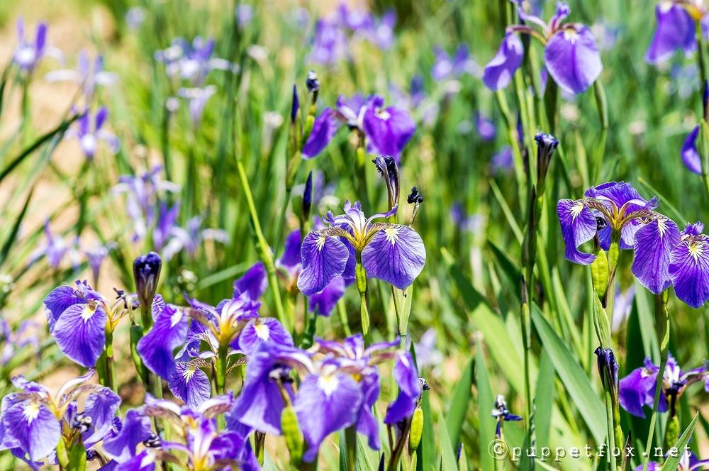 창포원-붓꽃-0511-4