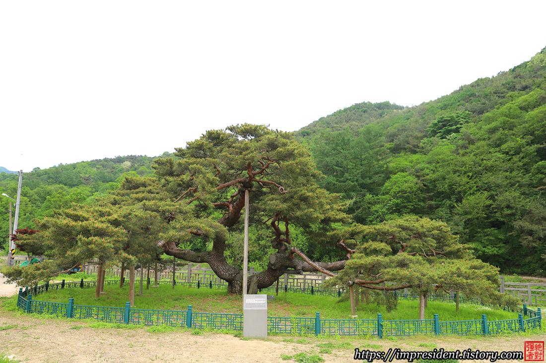 문경대하리소나무4