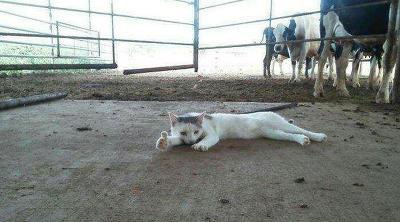 쓰러진 고양이 엄지척 짤 ㅋㅋㅋ