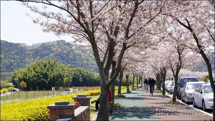 울산 태화강 벚꽃길