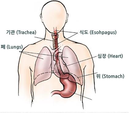 기관, 식도, 폐, 심장, 위