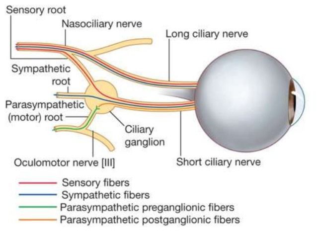 Logn ciliary & Short ciliary nerve