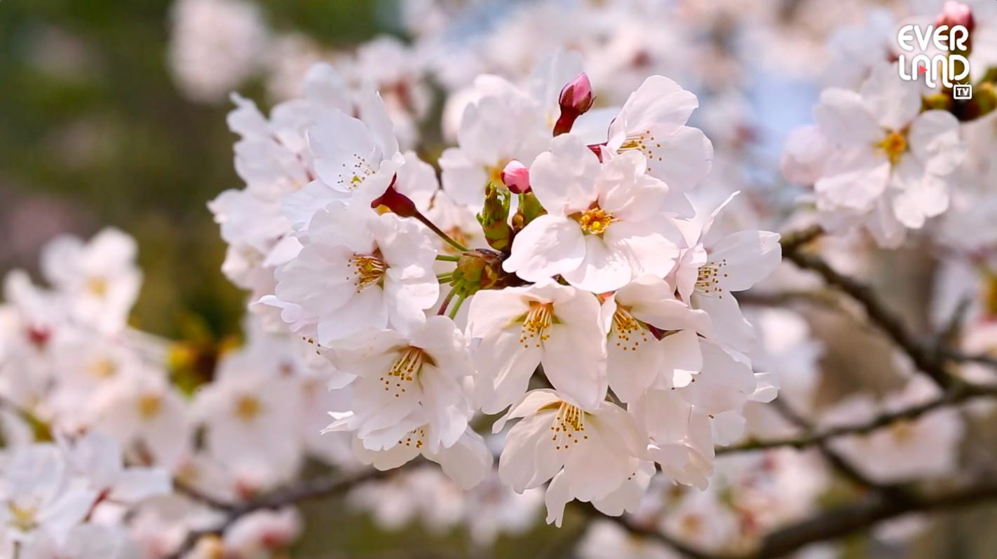 벚꽃놀이 끝난 줄 알았지?! 에버랜드 벚꽃은 지금이 젤 예뻐🌸