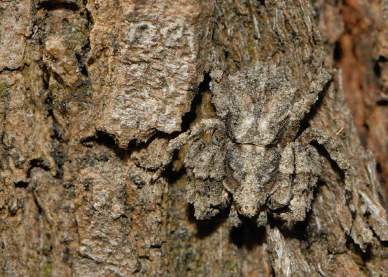 Camouflaged-Knobbly-Crab-Spider