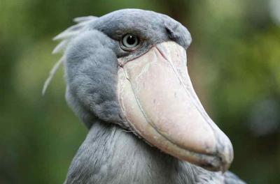 넓적부리황새 슈빌