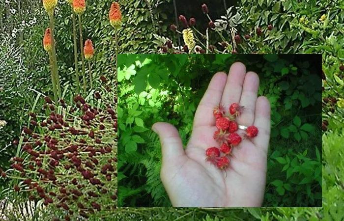 사진: markgelbart의 야생 딸기의 사진. 현재의 딸기는 1800년대가 되서야 인간이 재배해서 먹을 수 있는 딸기가 전 세계로 퍼진 것이다. [프레지어와 딸기의 역사]