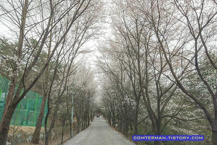 옥화자연휴양림 벚꽃길
