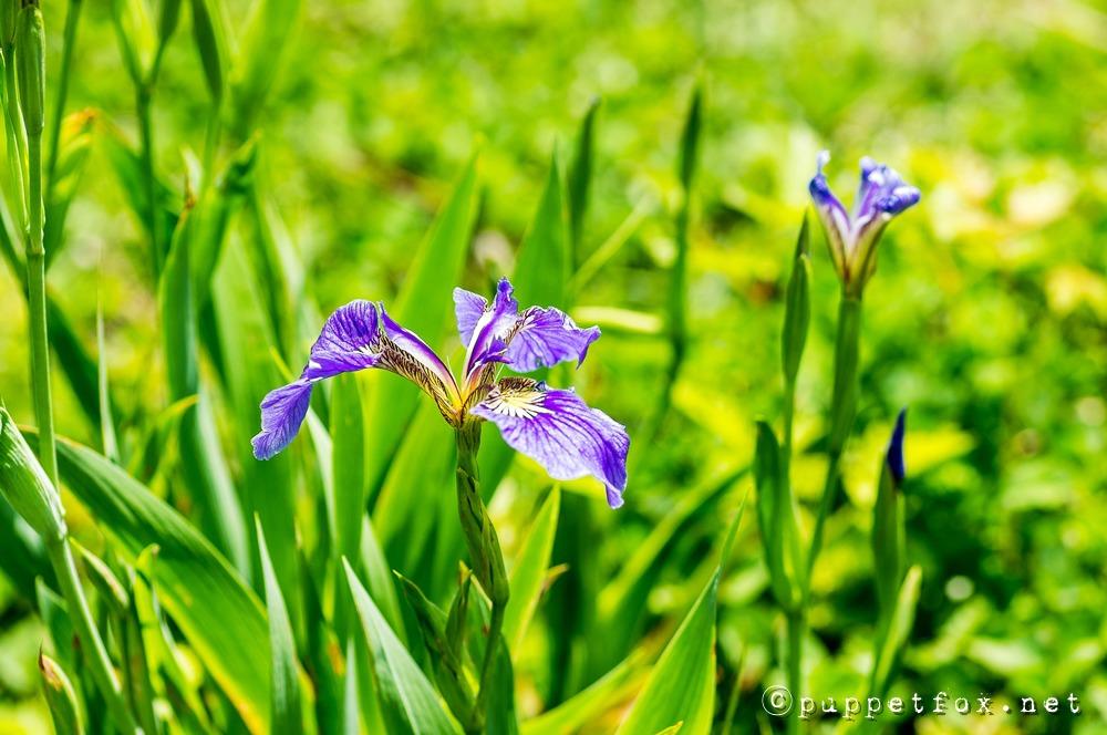 창포원-붓꽃-0511-2