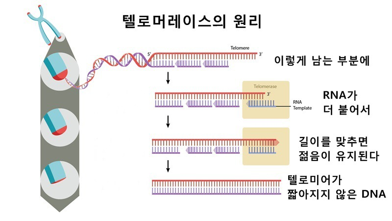 사진: 텔로미어가 닳기 전에 미리 살려낸다면 세포는 텔로미어 때문에 자살할 일이 없다.