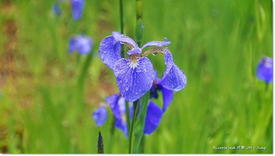 부채붓꽃 Iris setosa