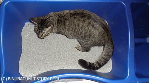 어떤 고양이들은 화장식 구석에 딱 붙어서 꼬리를 높게 치켜들고 화장실 벽을 향해 발사! 하는 습관이 있다.