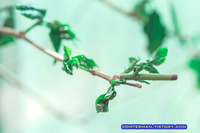 커피나무 식물 LED램프 새 잎
