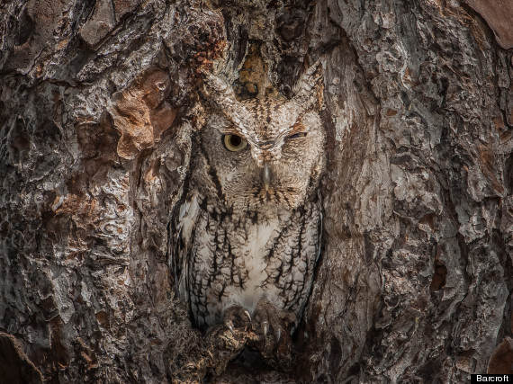 Camouflaged-Eastern-Screech-Owl