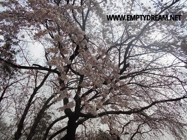 국립서울현충원 수양벚꽃 구경하기