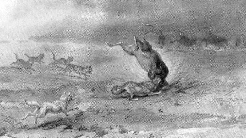 사진: 인간의 머리로 도저히 이기지 못하는 야생의 늑대