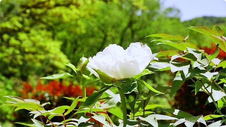 탐스러운 모란꽃