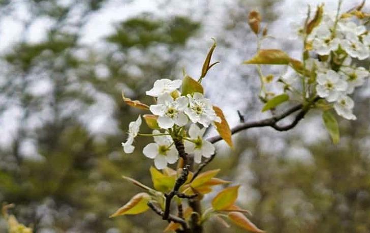 순백의 봄꽃