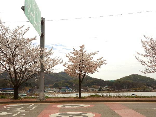 경기도 화성시 덕우저수지 벚꽃