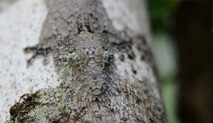 Camouflaged-Mossy-Leaf-Tailed-Gecko