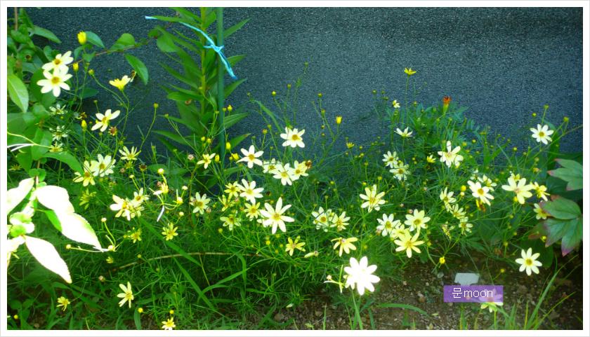 (정원)다년초 문빔 - 솔잎금계국, 숙근코스모스