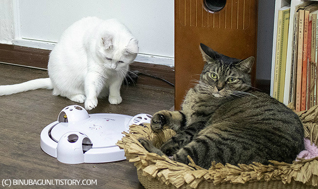양쪽 귀를 서로 다른 방향으로 열고있는 철수 고양이