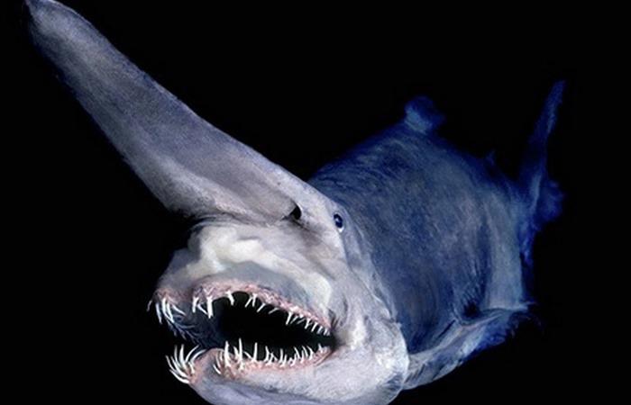 사진: 심해어인 마귀상어. 아래쪽의 턱뼈가 믿어지지 않을만큼 벌어지기 때문에 공포스러운 느낌을 준다.