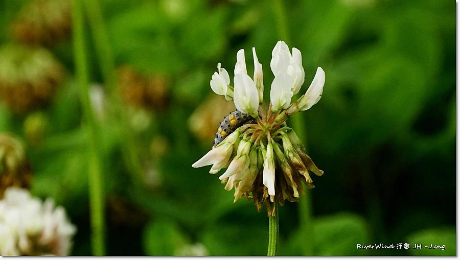 클로버 꽃 Clover flower