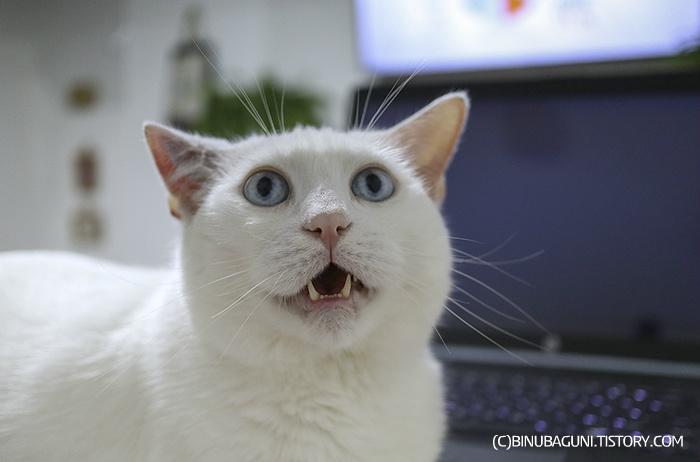 이개혈종을 앓기 시작하는 고양이
