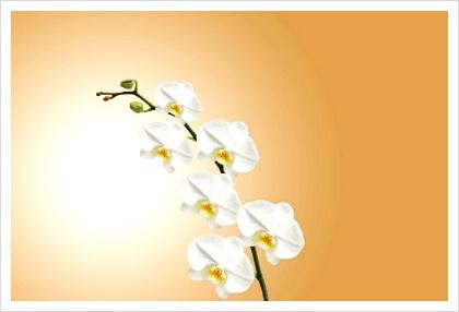 흰색 난초 이미지