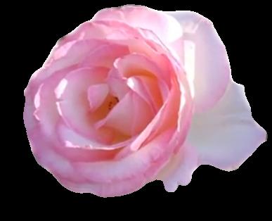 장미꽃 투명 배경