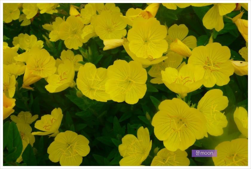 (정원) 황금낮달맞이와 분홍낮달맞이