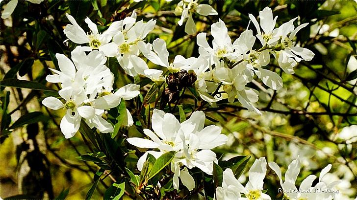 순백의 가침박달나무 꽃