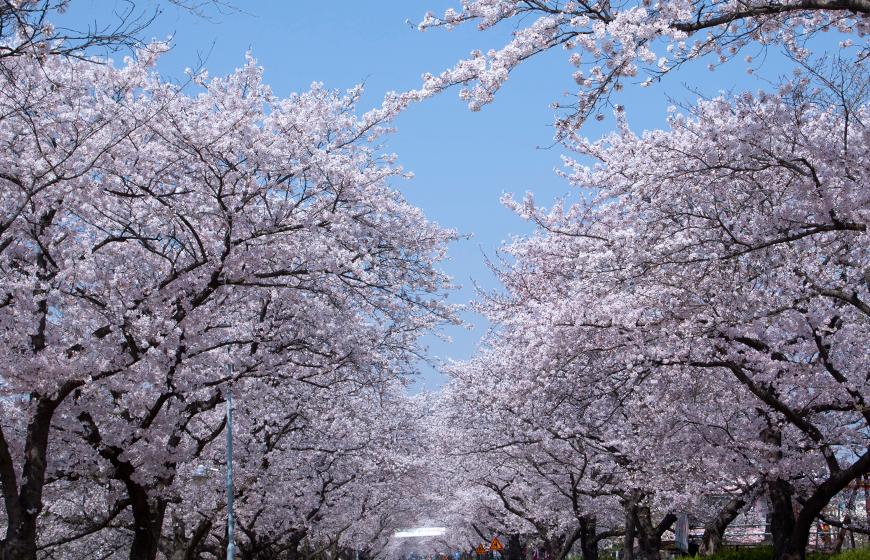 벚꽃축제/4월꽃구경