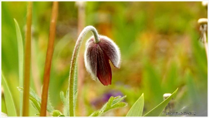 머리 숙인 할미꽃