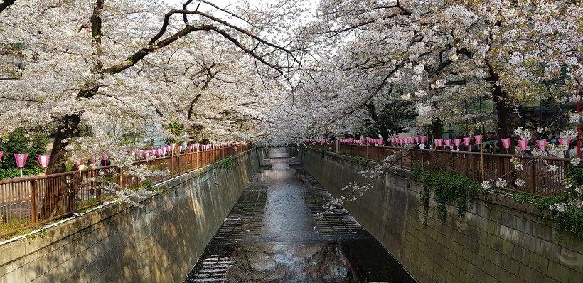 시부야 벚꽃