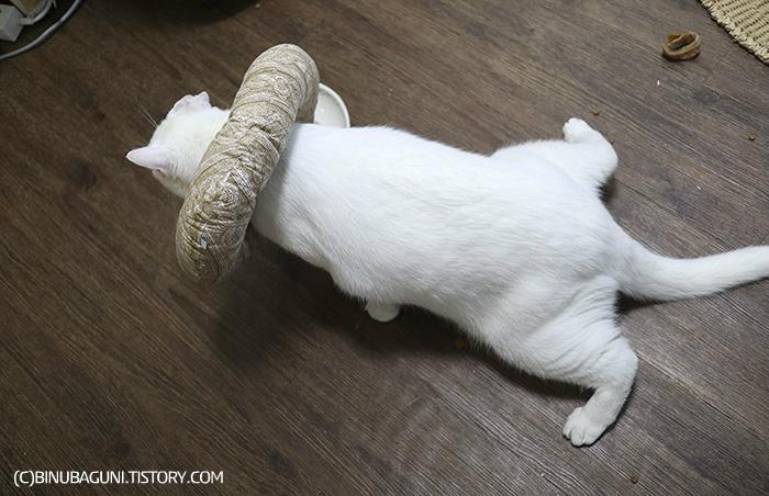 마취에 덜 깨 식탐을 보이는 고양이