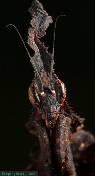 Camouflaged-Ghost-Mantis