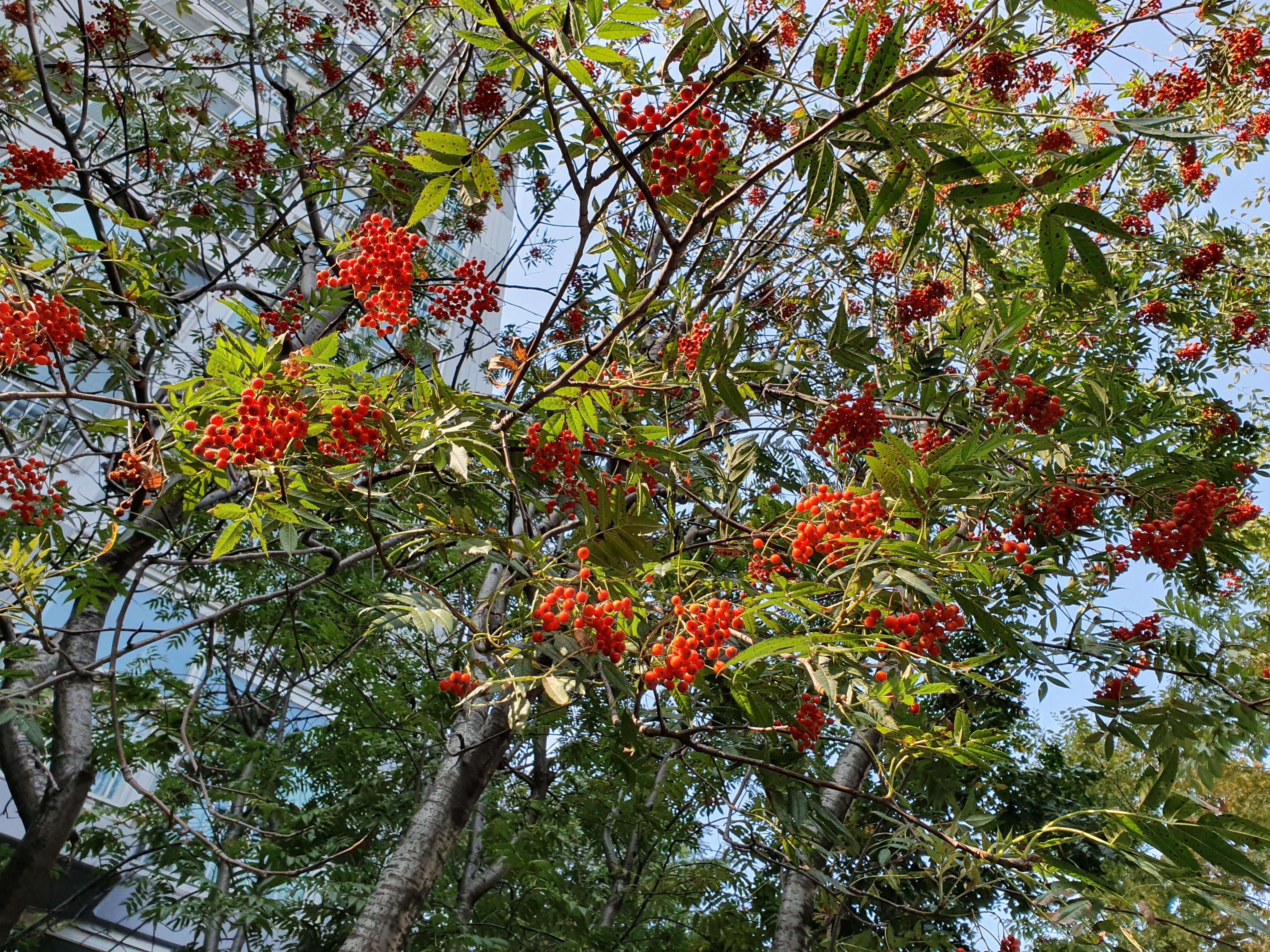 빨간 열매 나무 - 이름은 정확히 모르겠습니다.