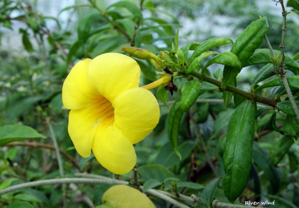 알라만다 카타르티카(Allamanda cathartica)