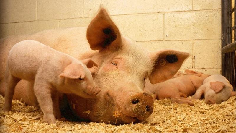 돼지와 남자의 이야기