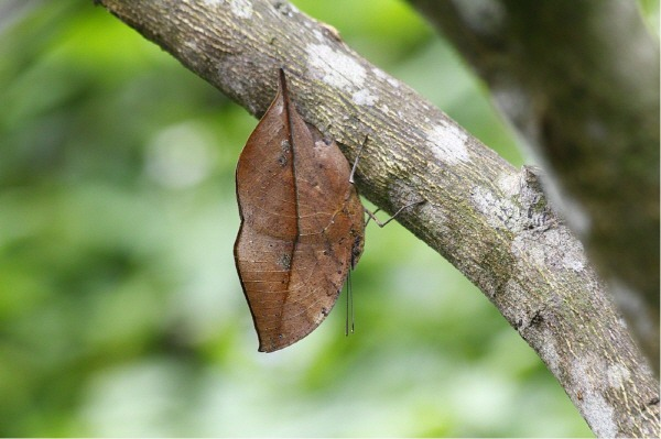 Camouflaged-Dead-Leaf-Butterfly