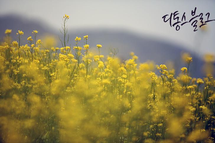 대구 유채꽃