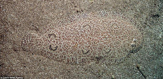 Camouflaged-Right-Eyed-Flounder